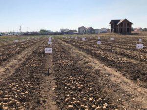 Zasadi krompira u Vučitrnu