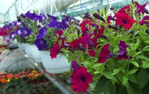 Cveće u plastenicima