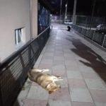 Otrovani psi