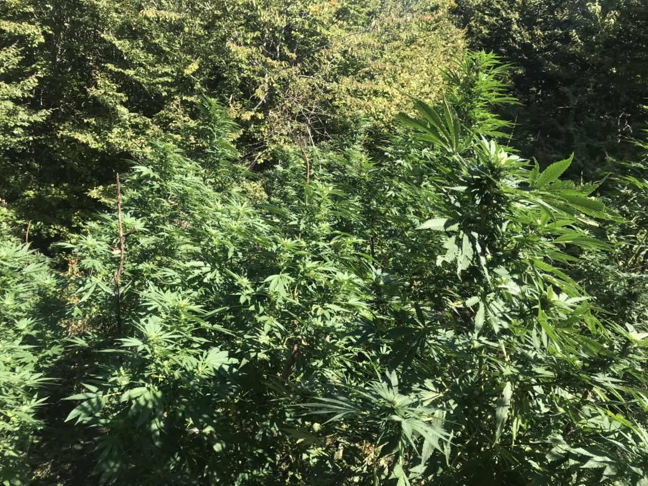 košare marihuana